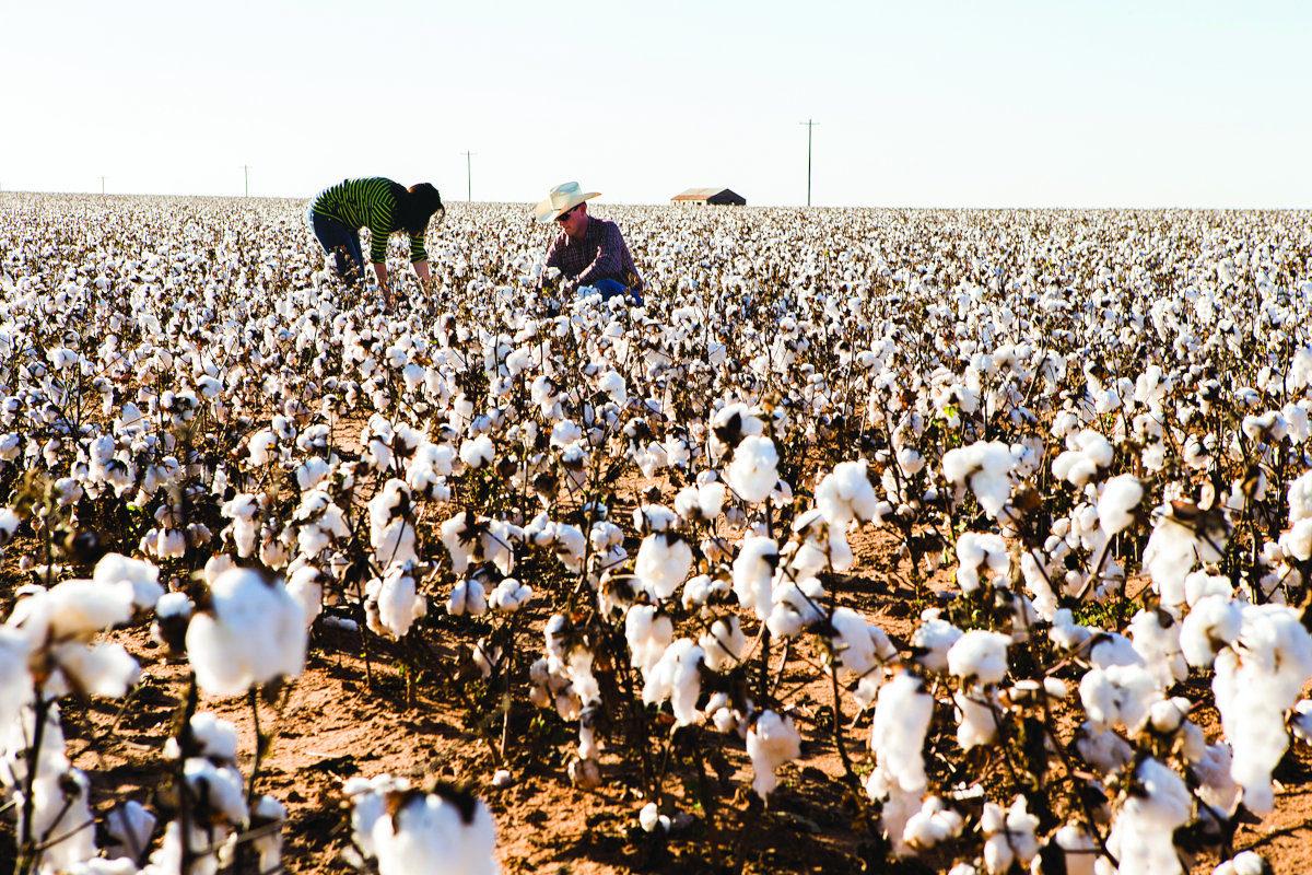 champ de coton bio