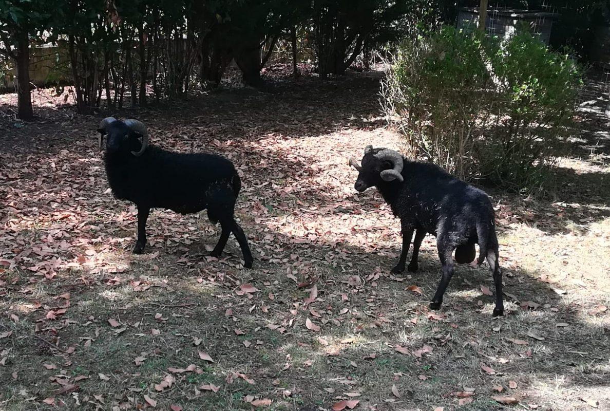 Mimi et Cactus les 2 moutons de Ouessant de Pierre