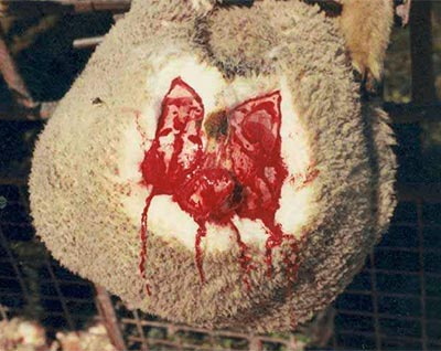agneau avec la queue coupée et la peau autour de l'anus scalpée. C'est ça le mulesing